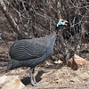 Helmeted guineafowl, Helmperlhuhn, Numida meleagris