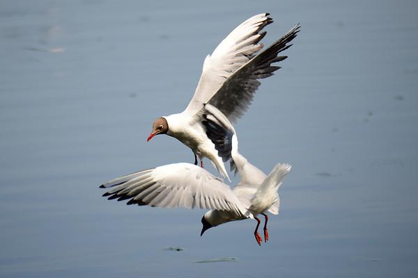 Black-headed Gull, Lachmöwe, Larus ridibundus