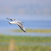 Grey-headed Gull, Graukopfmöwe, Larus cirrocephalus