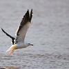 Lesser black-backed Gull, Heringsmöwe, Larus fuscus