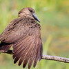 Hamerkop, Hammerkopf, Scopus umbreta