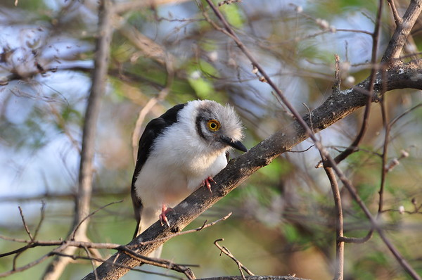 White-crested Helmetshrike, Brillenwürger, Prionops plumatus