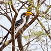 Eastern Yellow-billed Hornbill, Östlicher Gelbschnabeltoko, Tockus flavirostris ♀