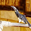 Hemprich's Hornbill, Hemprichtoko, Tockus hemprichii ♂