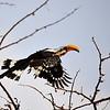 Eastern Yellow-billed Hornbill, Gelbschnabeltoko, Tokus flavirostris ♂