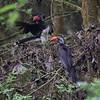 Crowned Hornbill, Kronentoko, Tokus alboterminatus