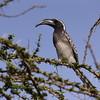 African Grey Hornbill, Grautoko, Tockus nasutus ♂