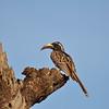 African Grey Hornbill, Grautoko, Tockus nasutus  ♀