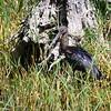 Glossy Ibis, Sichler, Plegadis falcinellus