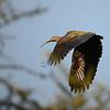 Hadada Ibis, Hagedash Ibis,  Bostrychia hagedash