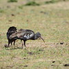 ENDEMIC  ET, ER  - Wattled Ibis, Klunkeribis, Bostrychia carunculata