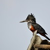 Giant Kingfisher -Riesenfischer - Megaceryle maxima ♀