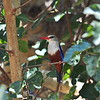 Grey-headed Kingfisher, Graukopfliest, Halcyon leicocephala