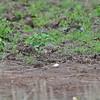 Black-winged Lapwing, Schwarzflügelkiebitz, Vanellus melanopterus