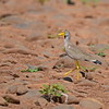 African Wattled Lapwing, Senegalkiebitz, Vanellus senegallus