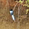 Monarch Flycatcher, Graubrust-Paradiesschnäpper, Terpsiphone viridis ♂