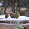 Speckled Mousebird / Banded Barbet --- Braunflügelmausvogel / Wellenbartvogel --- Colius striatus / Lybius undatus