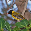 Black-headed Oriole, Maskenpirol, Oriolus larvatus