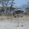 Somali Ostich, Somali Strauss, Struthio molibdophanes♀