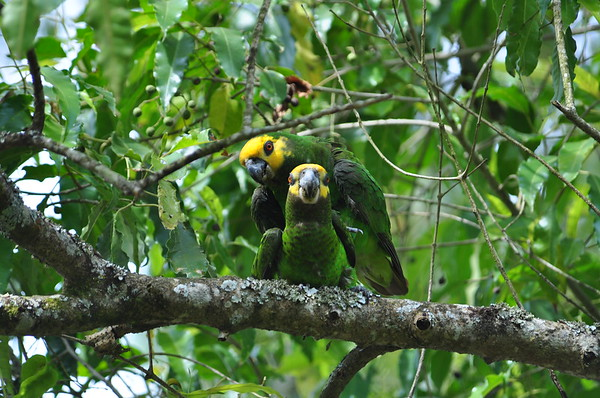 Yellow-fronted Parrot - Schoa Papagei - Poicephalus flavifrons
