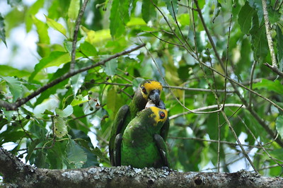 Parrots and Lovebirds / Papageien - Psittacidae