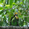 Yellow-fronted Parrot - Schoapapagei - Poicephalus flavifrons
