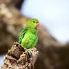 Black-winged Loverbird, Tarantapapagei , Agapornis taranta ♀
