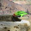 ENDEMIC   ET, ER  -  Black-winged Lovebird, Tarantapapagei, Agapornis taranta ♂