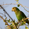 Yellow-fronted Parrot - Schoapapagei - Poicephalus flavifrons ♀