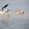 Great white Pelican,  Rosapelikan, Pelecanus onocrotalus attacking African Fish Eagle