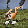 Great White Pelican, Rosapelikan, Pelecanus rufescens