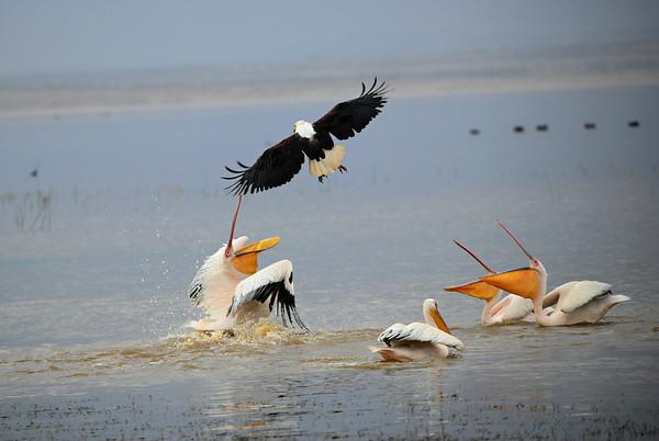 Great white Pelican,  Rosapelikan, Pelecanus onocrotalus attacking African Fish Eagle