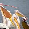 Great White pelican, Rosapelikan, Pelecanus onocrotalus