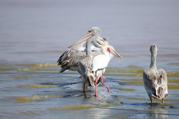 Pink-backed Pelican, Rötel Pelikan, Pelecanus rufescens + African Spoonbill, Afrikanischer Löffler, Platalea alba
