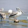 Pink-backed Pelican, Rötelpelikan, Pelecanus rufescens ♀