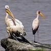 Great White Pelican, Rosa Pelikan, Pelecanus onocrotalus +Yellow-billed Stork, Nimmersatt,   Mycteria ibis