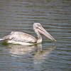 Pink-backed Pelican, Rötelpelikan, Pelecanus rufescens