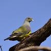 Bruce's Green Pigeon, Waaliataube, Treron waalia