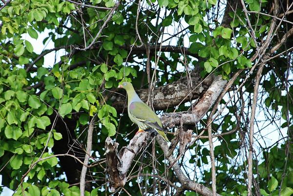 African Green Pigeon, Rotnasengrüntaube, Treron calvus