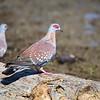 Speckled Pigeon, Guineataube, Columba guinea