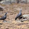 White-collared Pigeon,  Weissringtaube, Columba albitorques