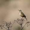 Abyssinian Longclaw - Goldhalspieper- Macronyx flavicolis