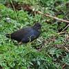 Black Crake, Mohrensumpfhuhn, Amaurornis flavirostra juv