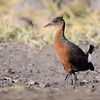 Rouget's Rail, Rougetralle, Rougetius rougetii