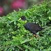 Black Crake, Mohrensumpfhuhn, Amaurornis flavirostra