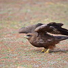 Black Kite, Schwarzmilan, Milvus migrans
