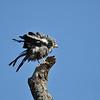 African Harrier-Hawk, Höhlenweihe, Polyboroides typus