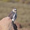 Mountain Buzzard, Bergbussard, Buteo oreophilus