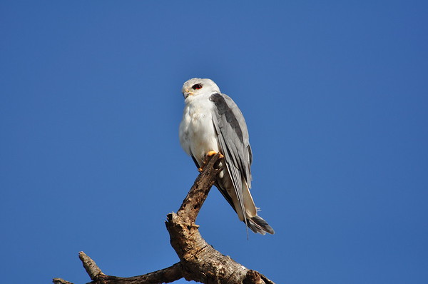 Black-shouldered Kite, Gleitaar, Elanus caeruleus