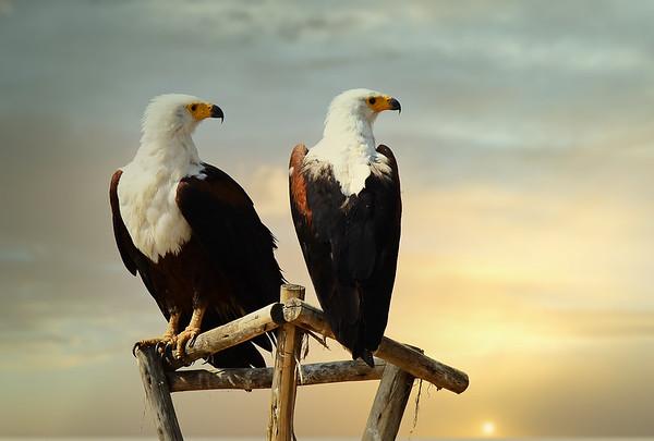 African Fish-Eagle,  Schreiseeadler, Heliaeeter vocifer